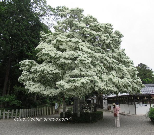 沙沙貴神社 なんじゃもんじゃの木