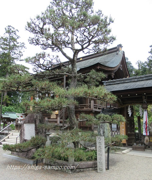 沙沙貴神社 乃木希典の松